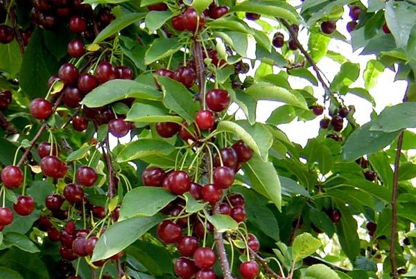 Pianta di ciliegio for Pianta di ciliegio