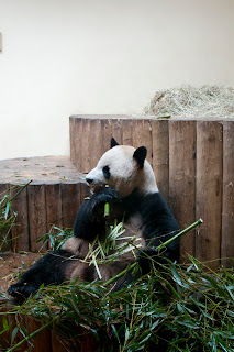 panda in Great Britain