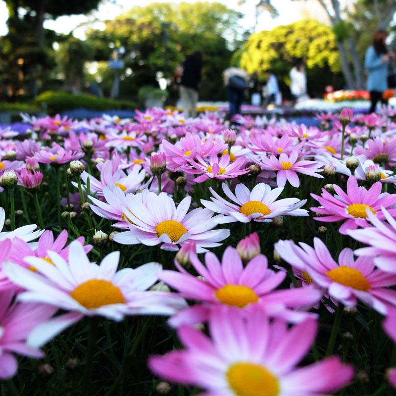 江ノ島のピンクの花の写真