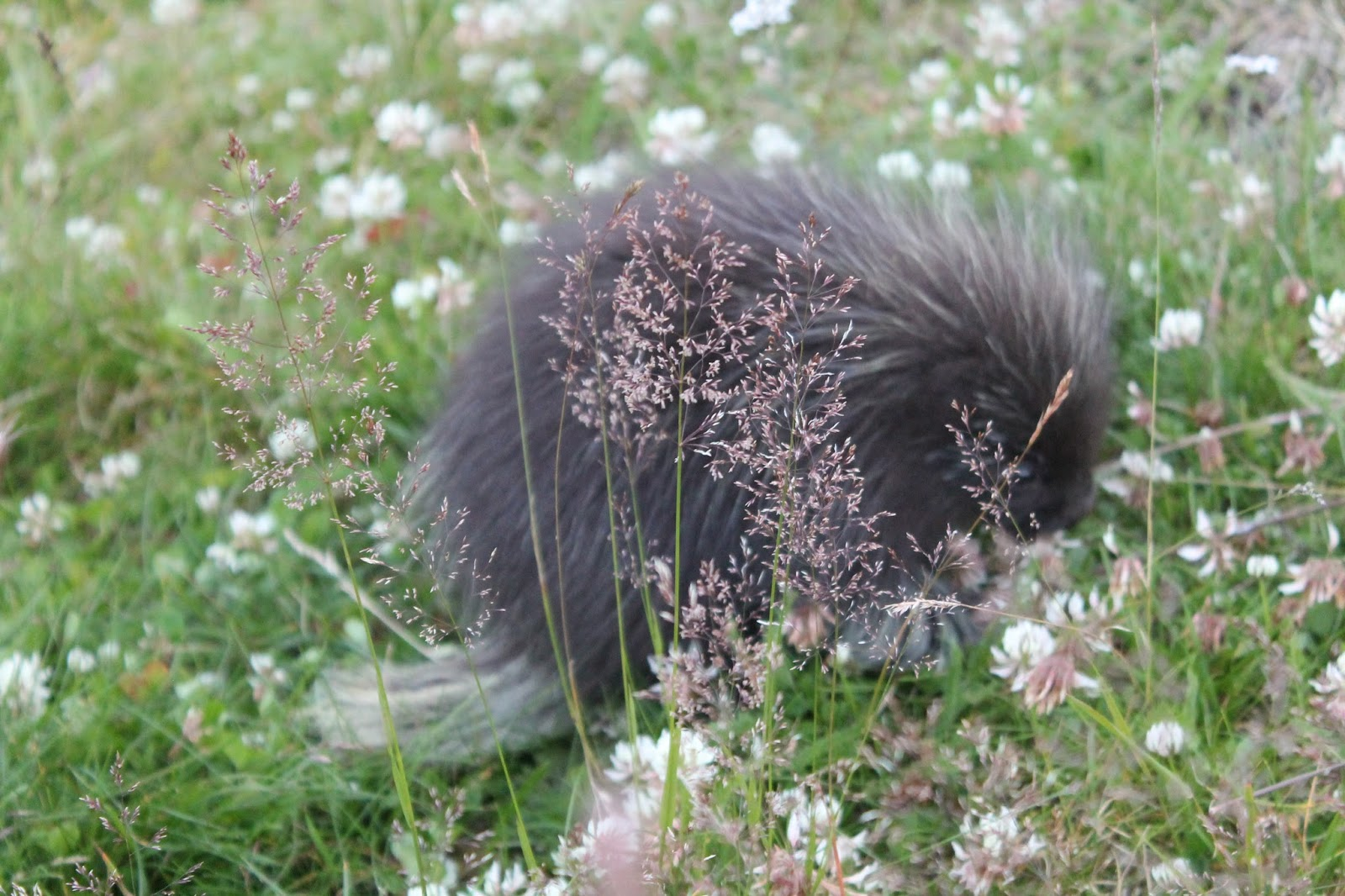 little bear how to love a porcupine