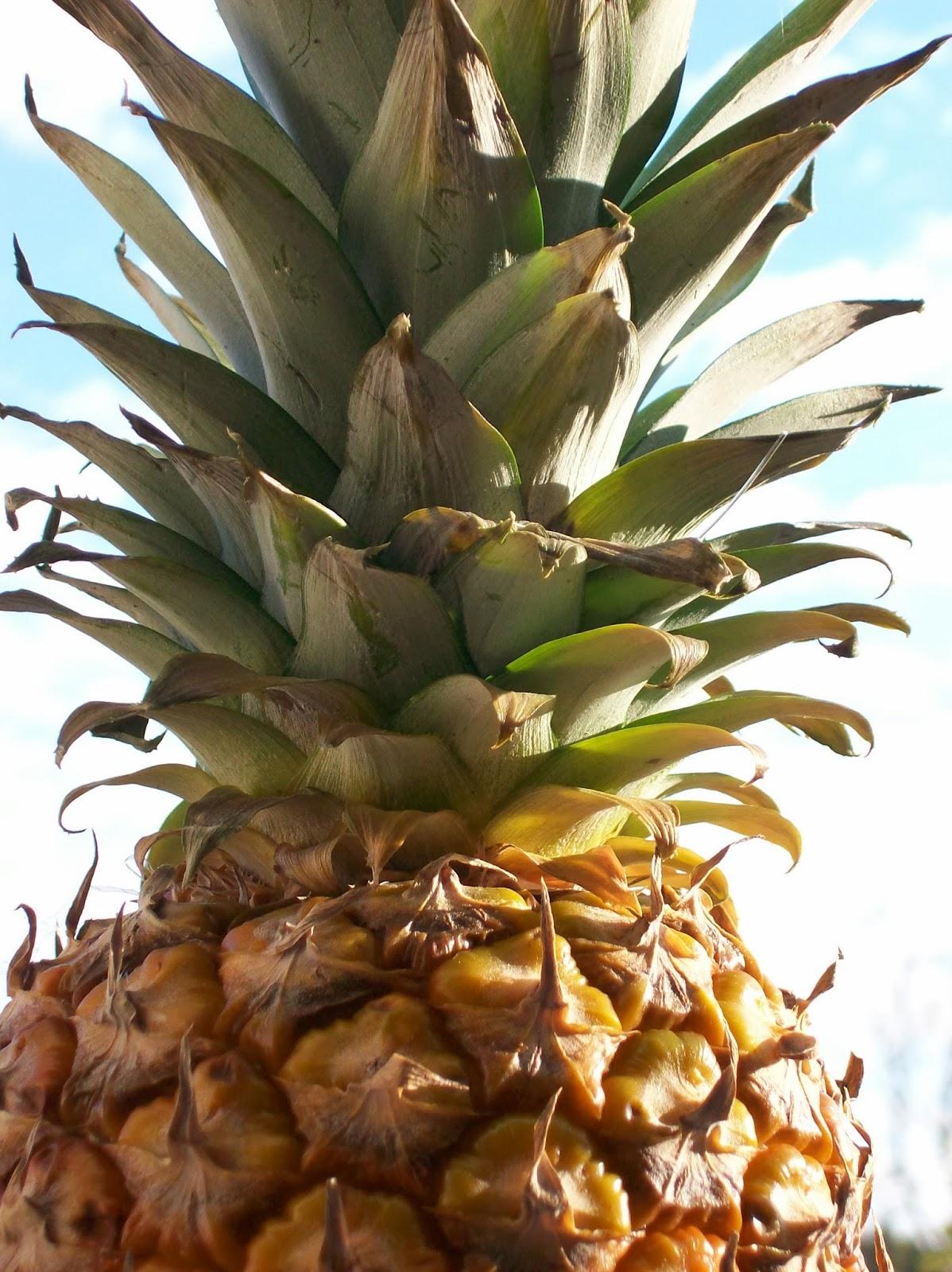 una nuova pianta da un ciuffo d'ananas