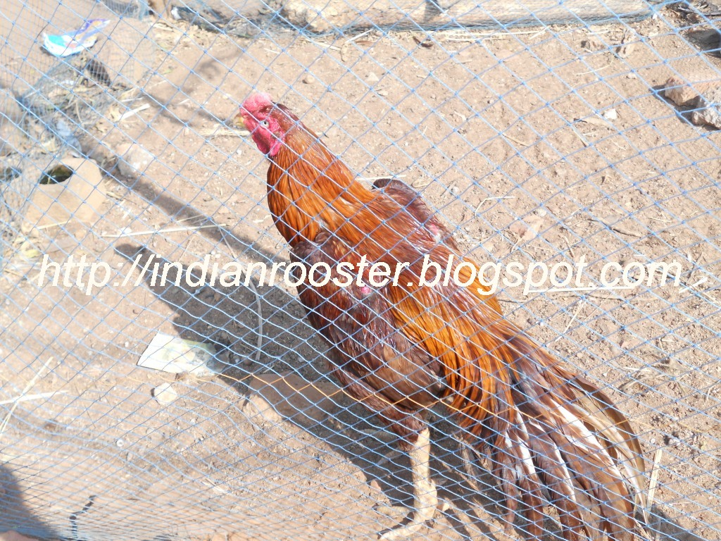 Fighting Rooster Breeds