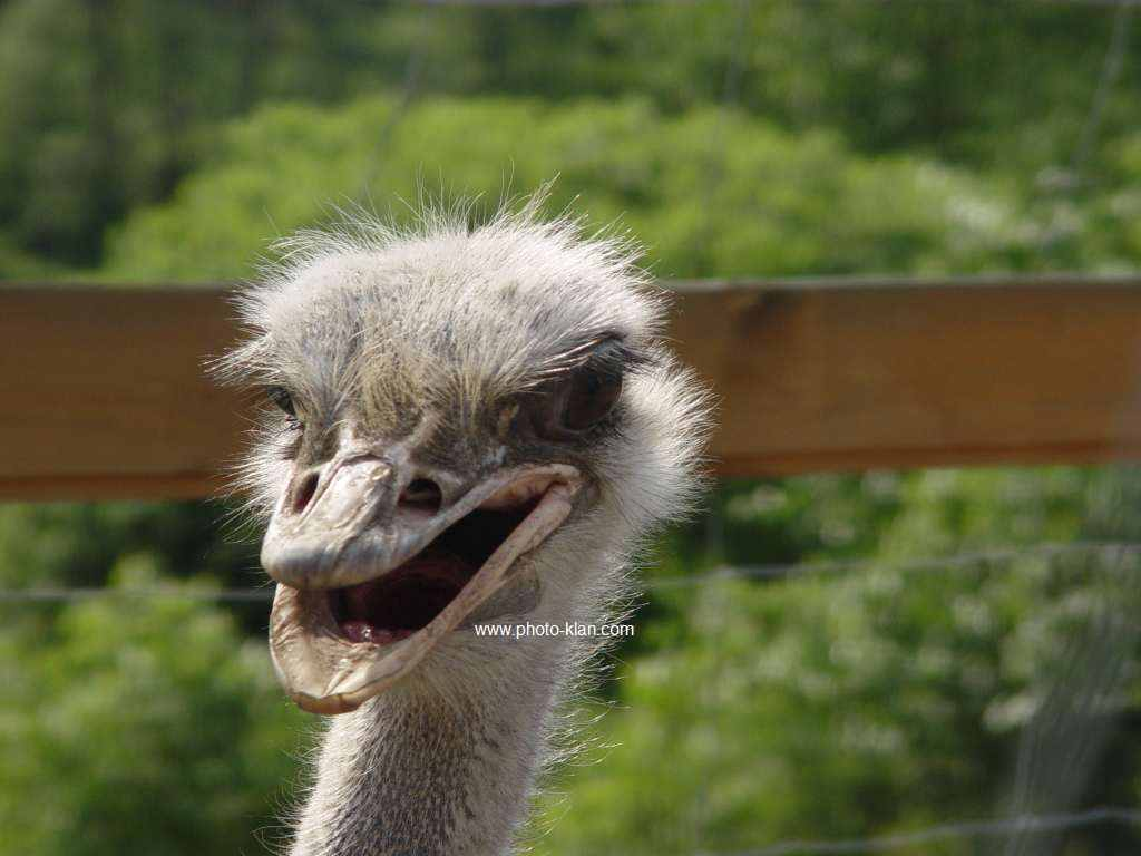 Funny Ostrich Photos