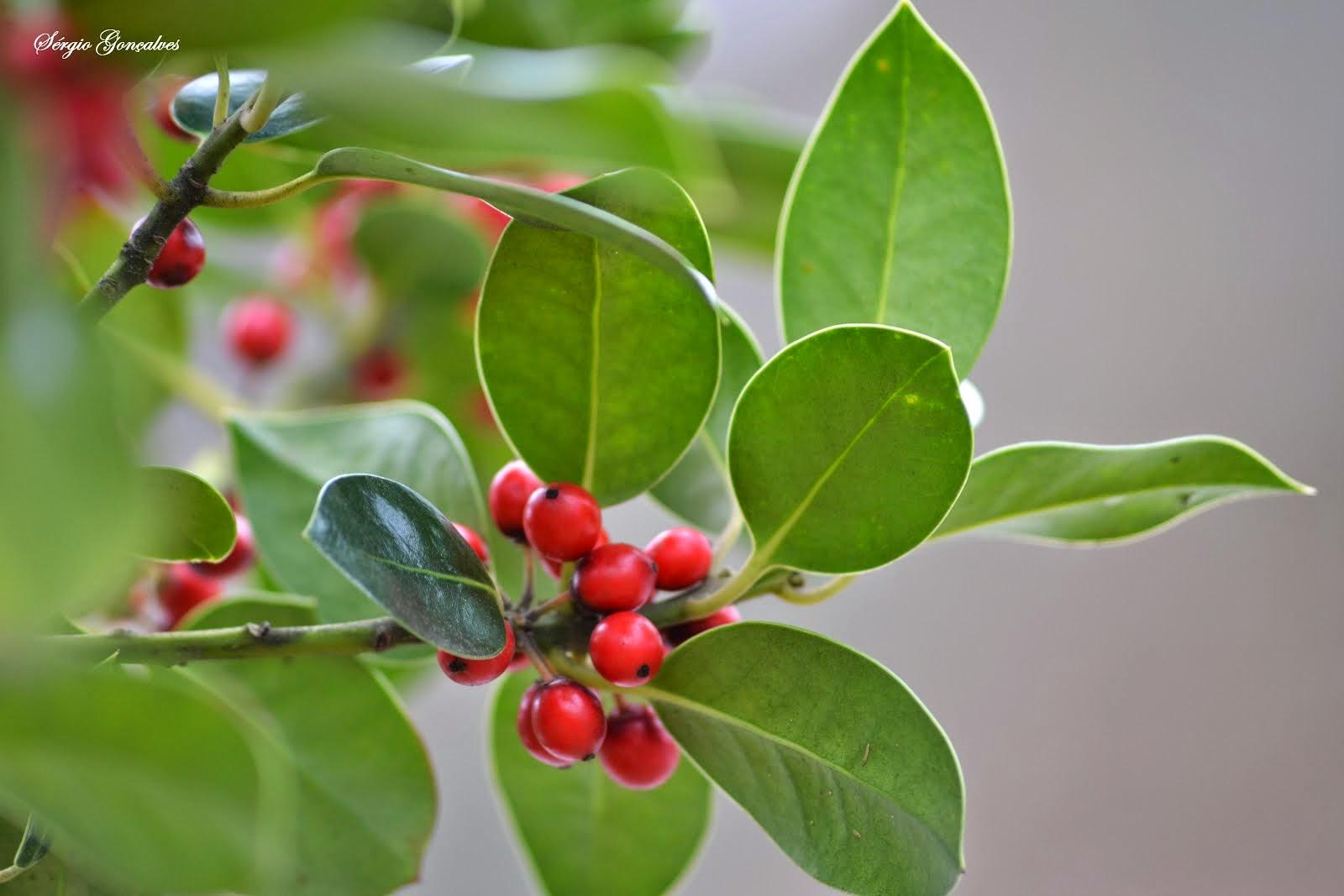 Azevinho - llex aquifolium