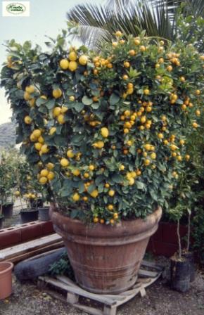 Limone un piccolo albero dai frutti dorati for Albero limoni in vaso