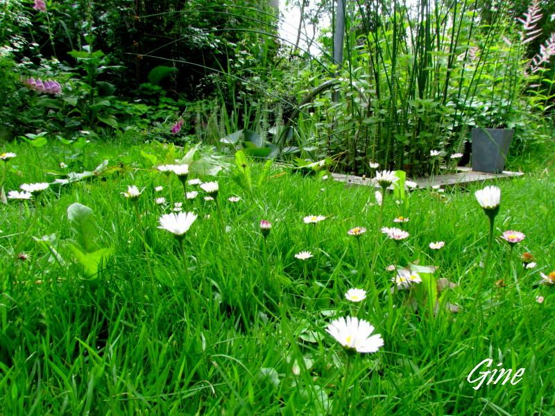 Au jardin de gine gazon anglais vraiment for Semer du gazon au printemps