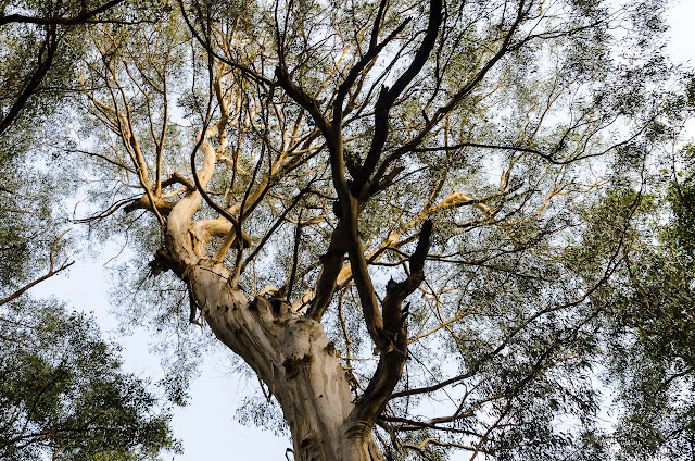 eucalypt tree on dandenong creek track