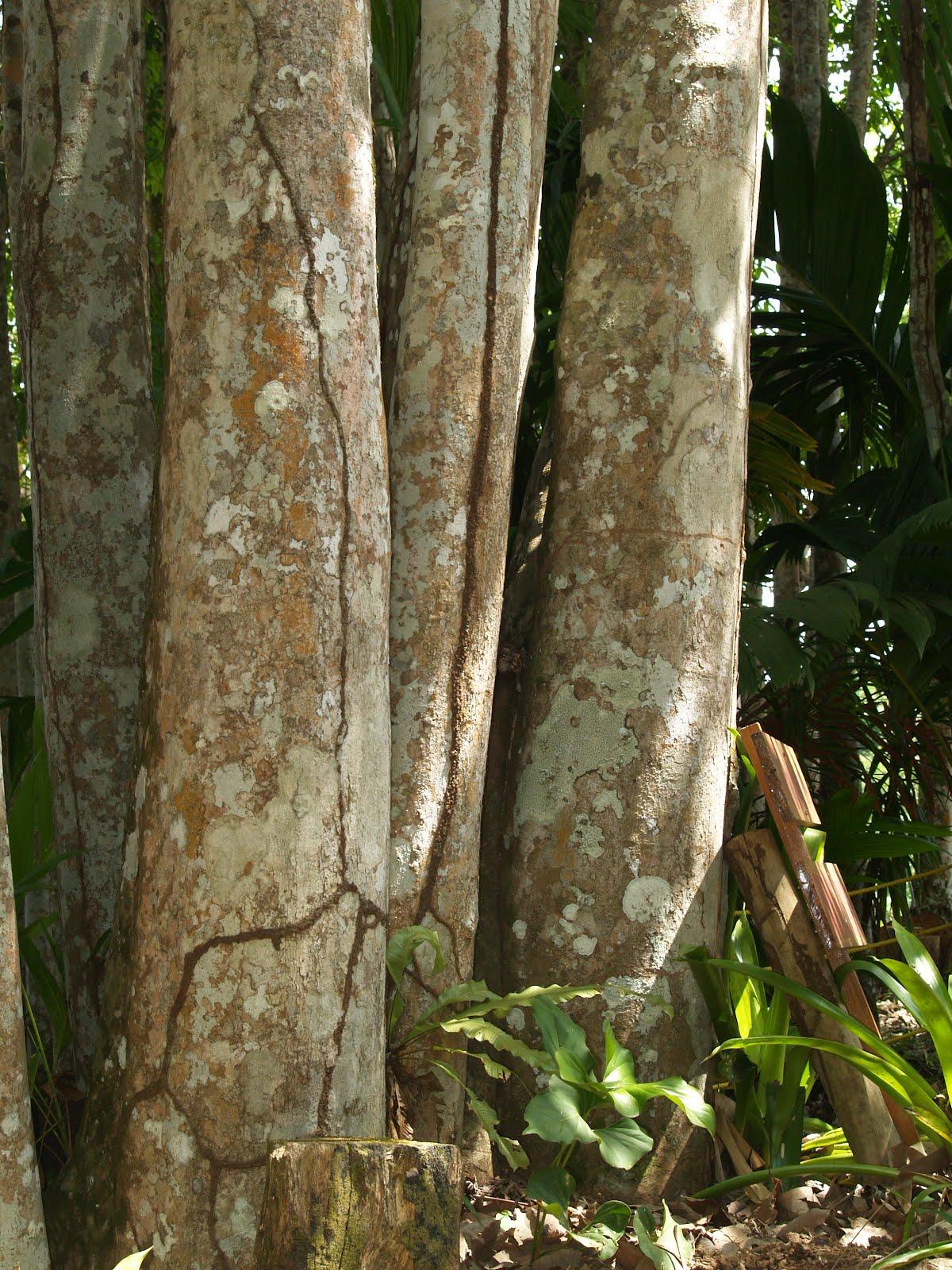 El Caucho, arbol emblemático del Estado Amazonas.   Divagancias de ...