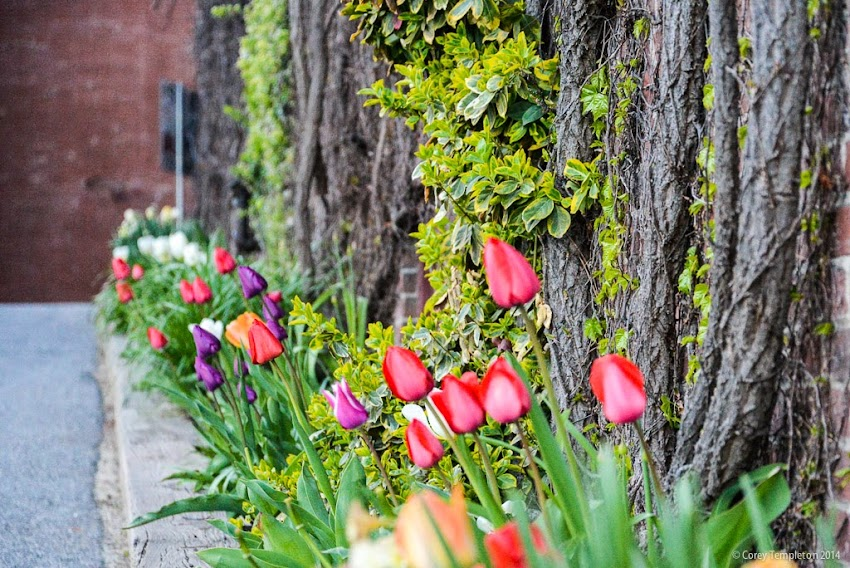 Portland, Maine Spring Flowers May 2014 Photo by Corey Templeton