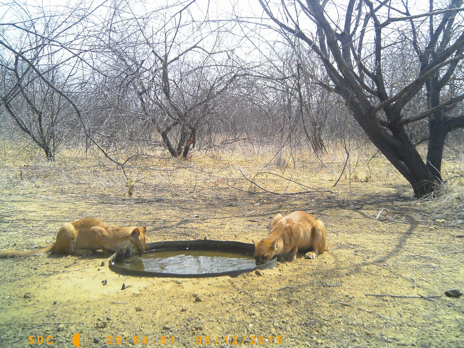 Um casal de gatos do mato bebendo água
