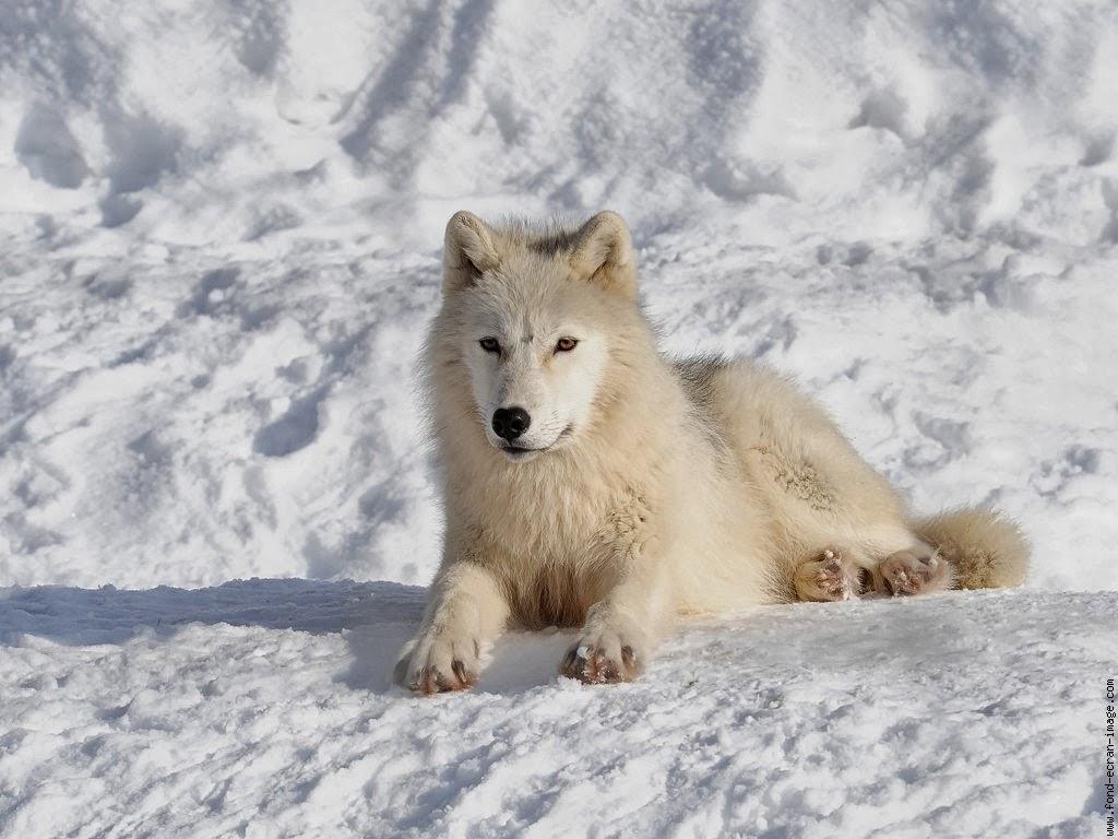 Životinje i sneg  - Page 6 Artic+Wolf