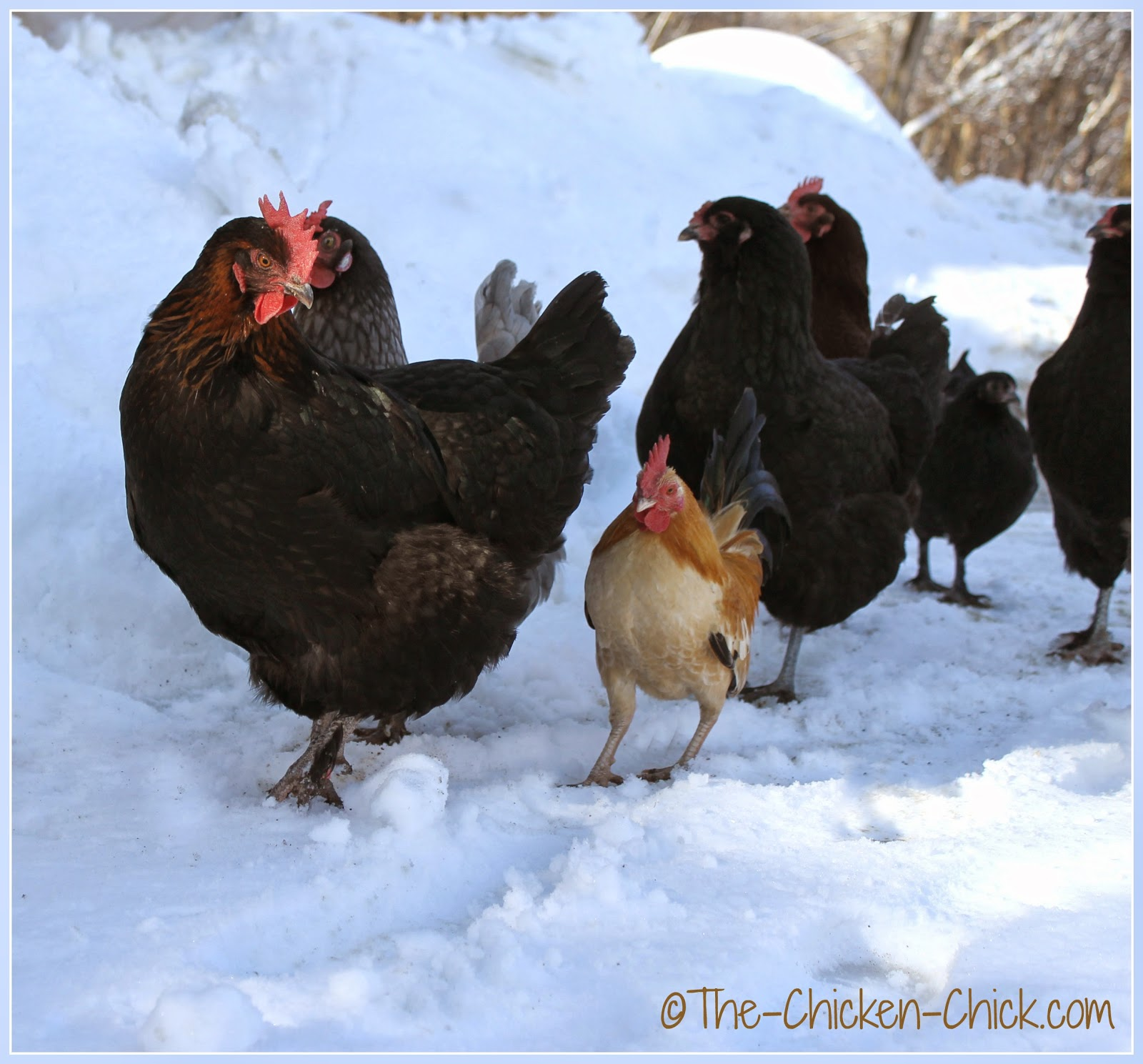 Chickens exploring the snow