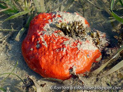 Mycale grandis