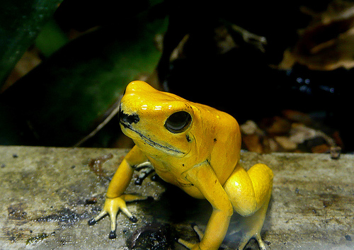 Funny yellow poison dart frog funny animal - Funny frog pictures ...