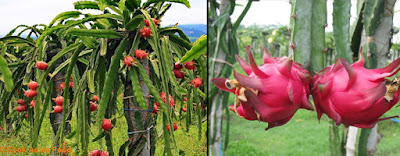 klasifikasi dan morfologi umum buah naga