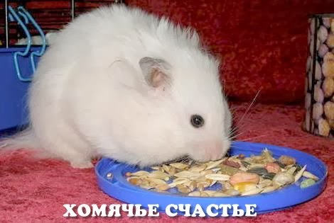 Syrian hamster. Anatomy and Physiology of hamster - veterinary online
