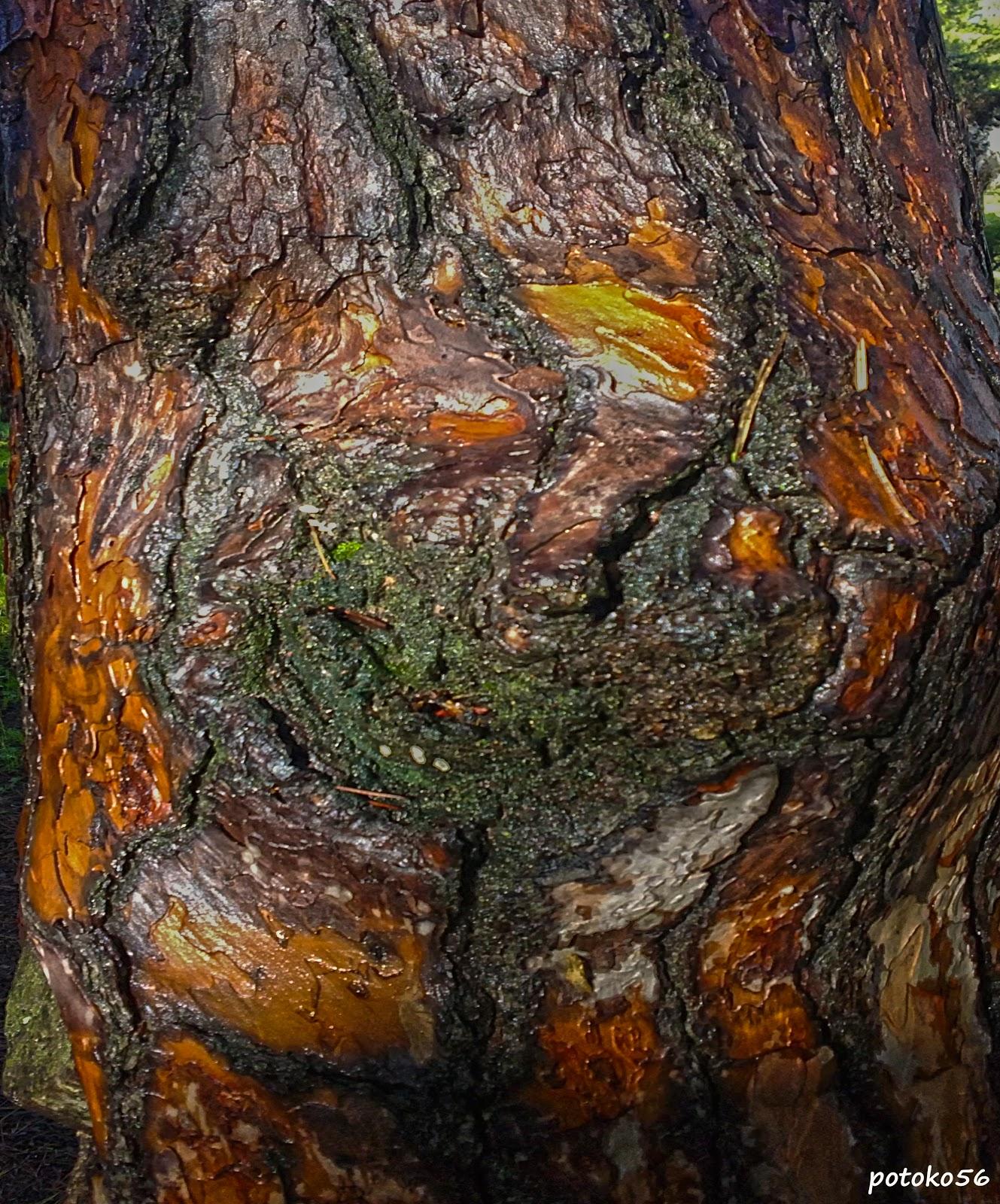 Nudo de árbol, Tronco de pino,  Árbol adulto, Fotografía