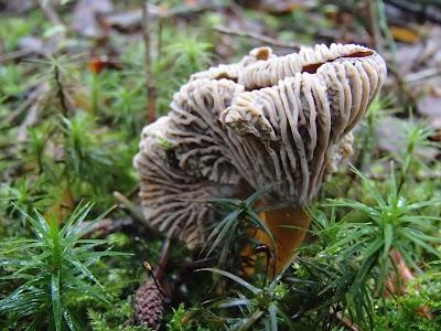 Pieprznik trąbkowy Craterellus tubaeformis