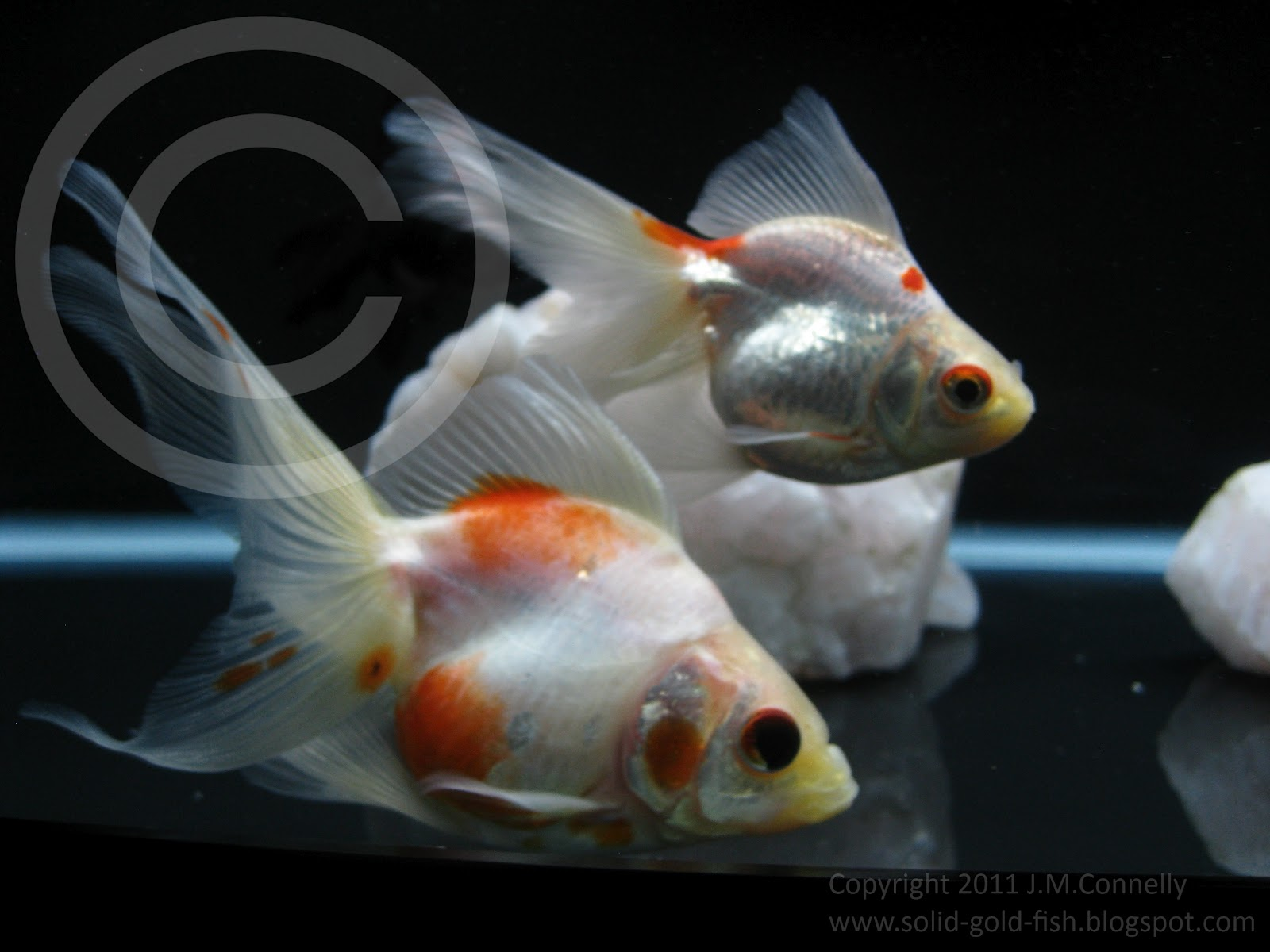 red fantail goldfish - HD 1600×1200