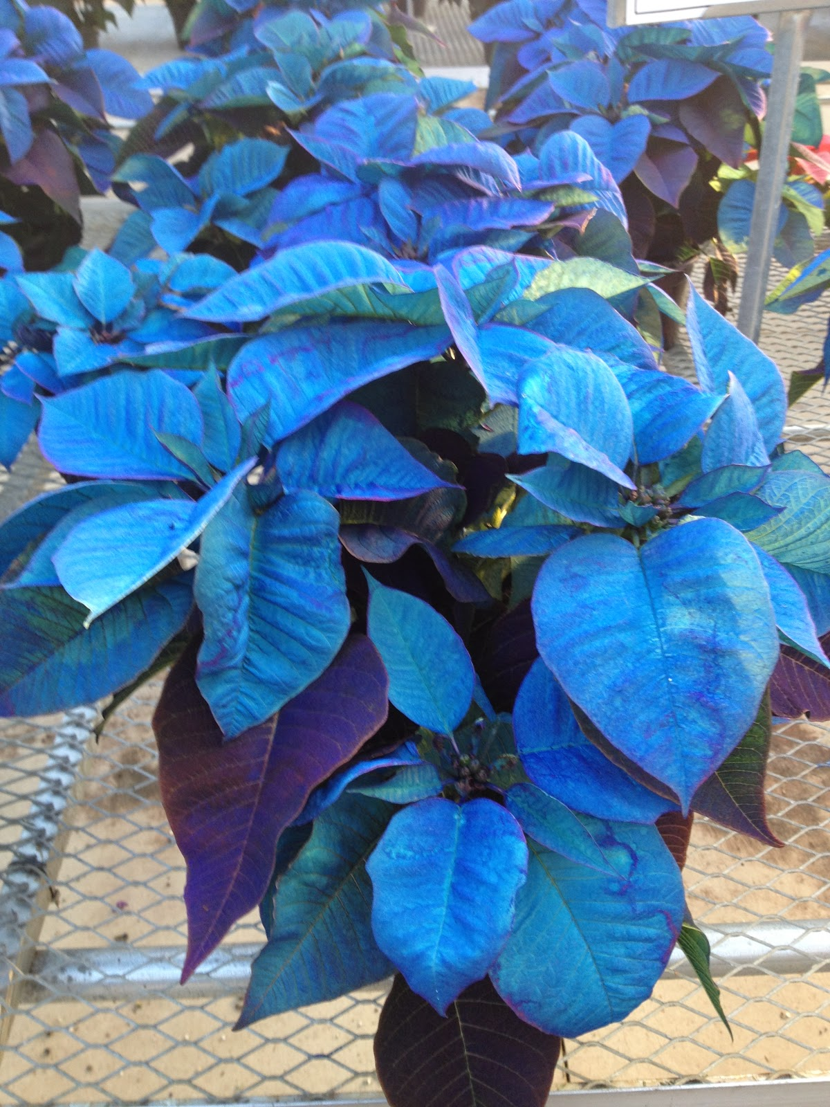 Poinsettias in every color even blue the impatient gardener blue poinsettia the impatient gardener izmirmasajfo Images