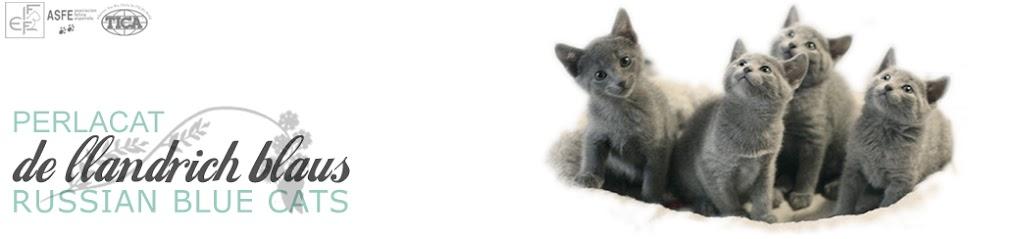 GATOS AZUL RUSO · PerlaCat de Llandrich Blaus, RUSSIAN BLUE  CATS ·