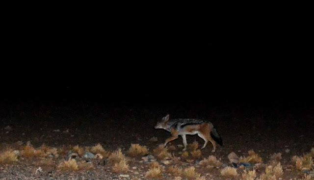 Black Backed Jackal at night