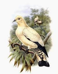 Yellowish imperial pigeon Ducula subflavescens