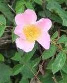 Pink dog Rose
