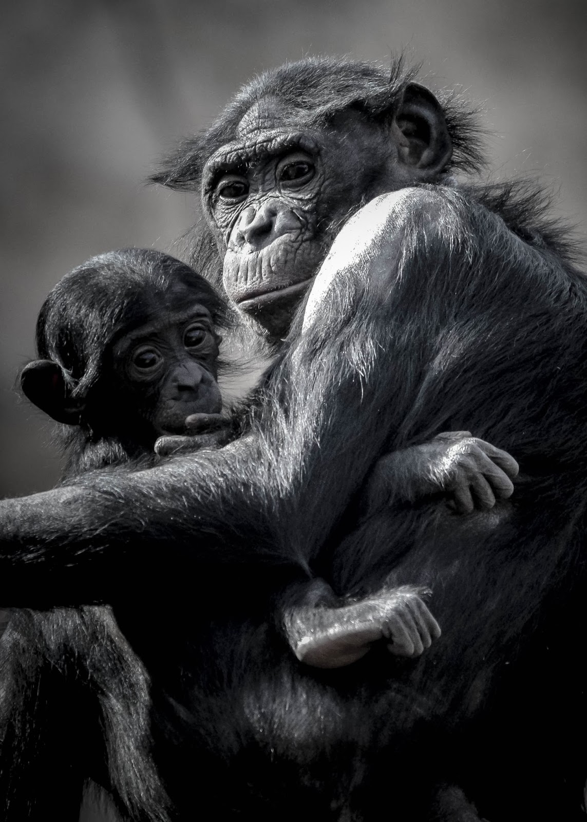 CHIMP MOMMA & BABY