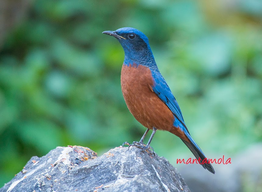 Chestnut Bellied Rock Thrush