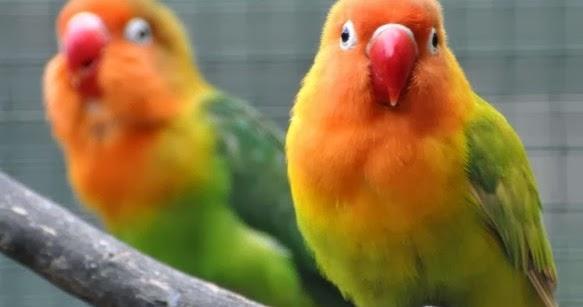 cara mengobati burung lovebird yang sakit mata   tips