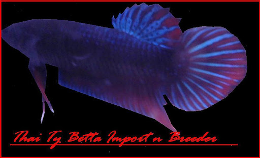 Thai Ty Betta Import n Breeder