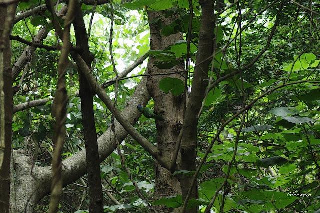 雞南山散步,潛壩上方、沿著小溪而上的樹林蓊鬱,常見五色鳥的身影。
