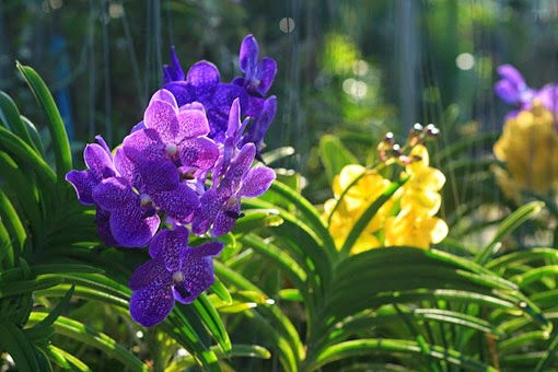 Be fascinated by Thai Orchids
