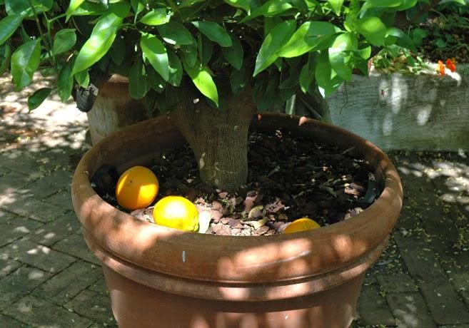 Kruka med citrusfruketer
