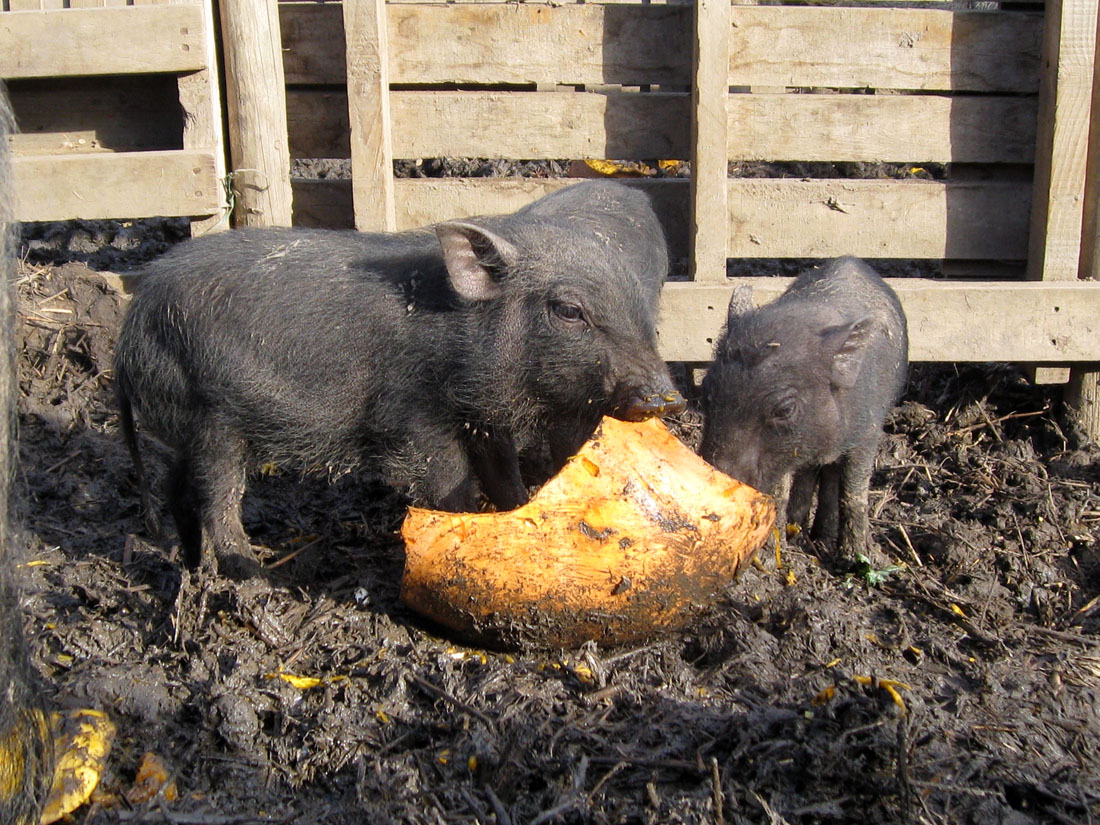 Pixie Pigs Full Grown