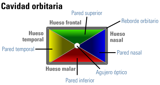 Cavidad Orbitaria [Anatomia]   .