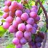 Manfaat Buah Anggur,Budidaya Tanaman Anggur