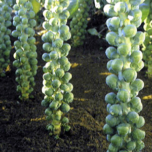 Delicious, Kid-Approved Brussel Sprout Recipe