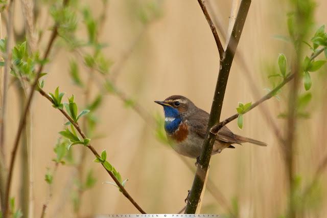 Blauwborst - Bluethroat - Luscina scecica