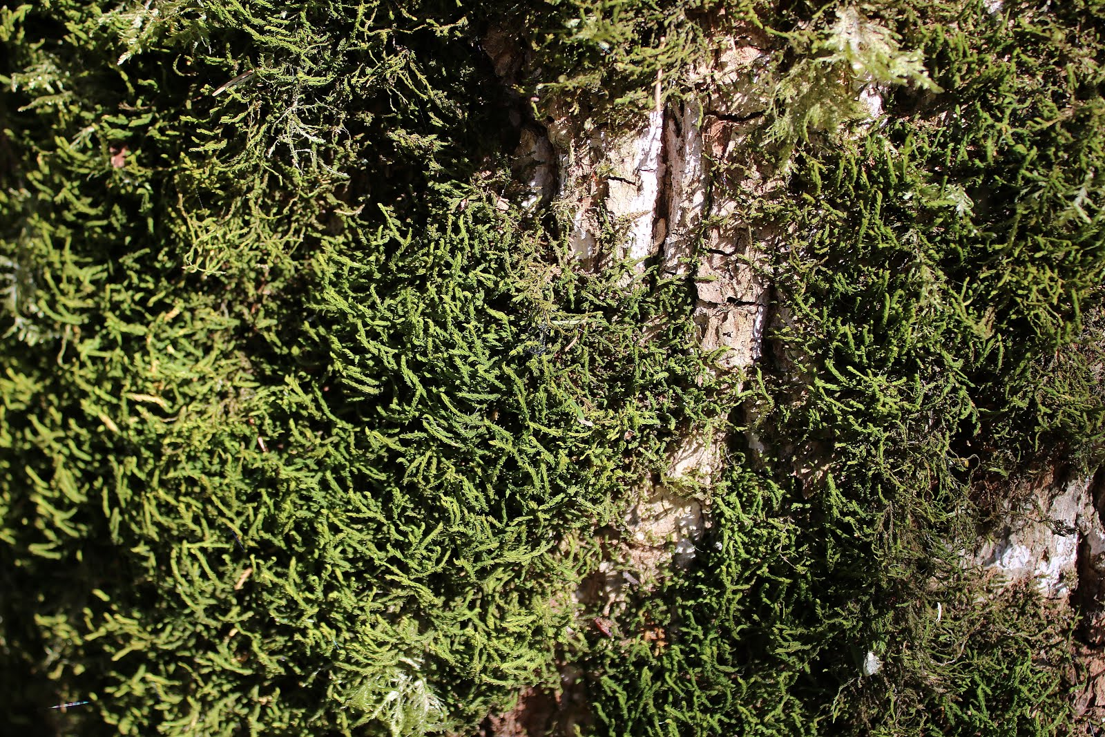 Mossen en Varens