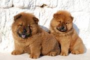 cachorros de Chowchow