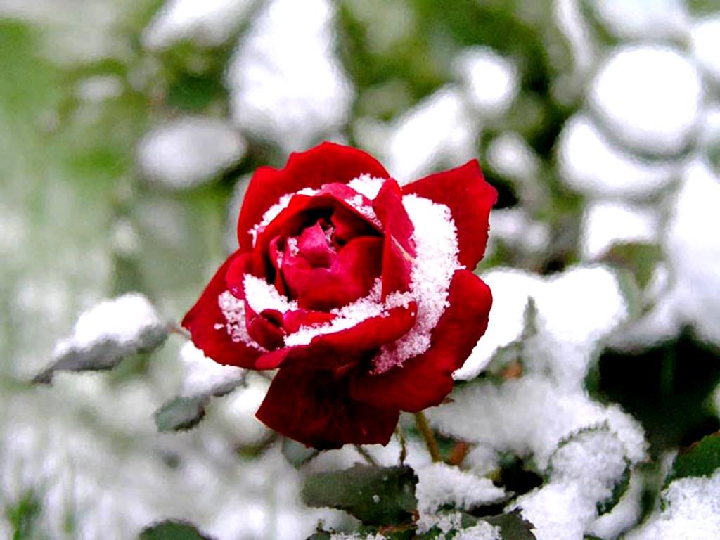 10 Gambar Setangkai Bunga Mawar Gambar Top 10