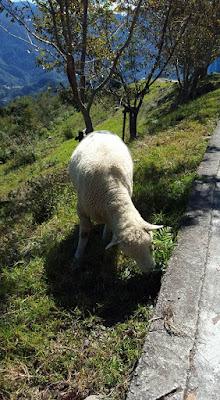 Sheep Ranch at Nantou Cingjing Farm Taiwan