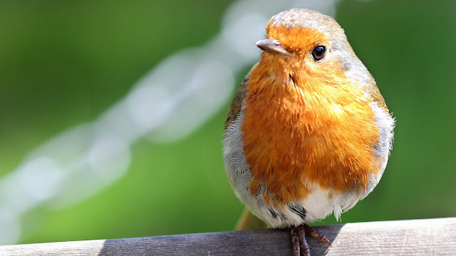 Robin Bird Close-Up HD Wallpaper