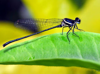 Damselfly on Allamanda