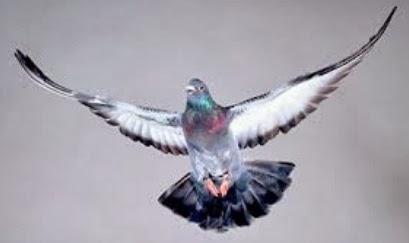 ciri khas burung merpati balap yang baik gembala news