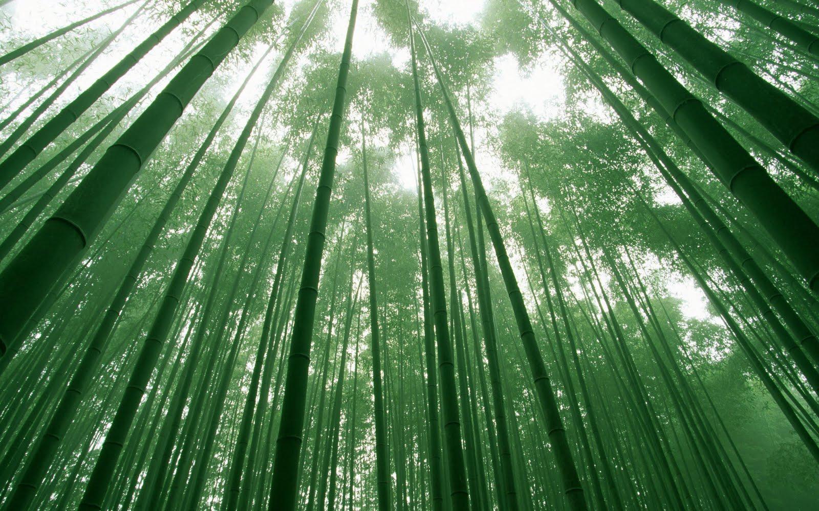 http://2.bp.blogspot.com/-Skh9nmsA5d4/Tp2Cj-FTqHI/AAAAAAAABHU/Ty0PW_Vygpo/s1600/Bamboo%2BForest%2BWallpaper.jpg