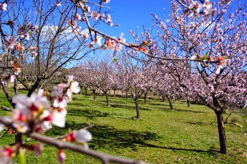 Vila Flor, Portugal, Amendoeiras em Flor