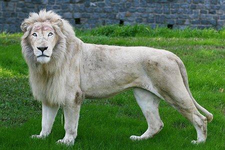 leon y tigre blanco - photo #44